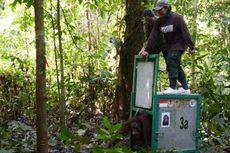 Cerita Wanna, Orangutan Eks Pemain Sirkus Thailand, Kembali ke Hutan Kalimantan