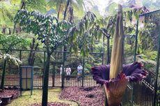 Bunga Bangkai di Kebun Raya Cibodas Mekar dengan Sempurna