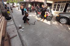 7 Kasus Teror Kobra, Remaja Tewas Dipatuk Ular Saat Atraksi hingga Sekeluarga Mengungsi