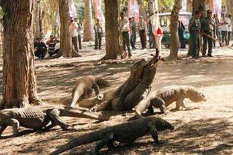 Komodo di Pulau Komodo, Nusa Tenggara Timur, disuguhi makan oleh pengelola Taman Nasional Komodo, Jumat (13/9/2013).