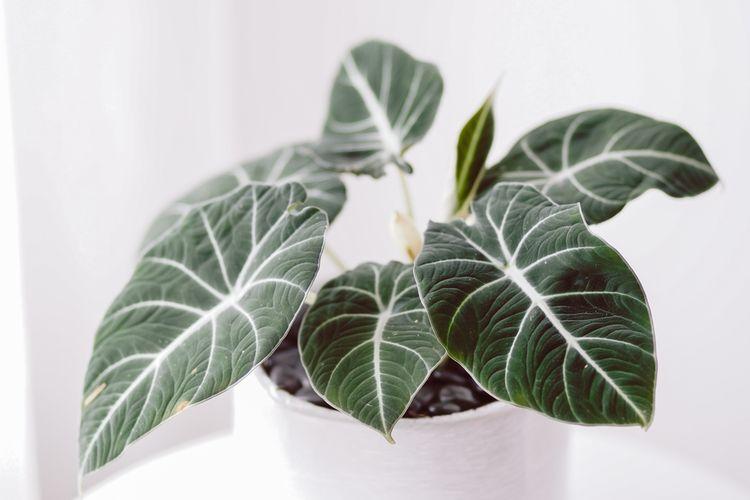 Ilustrasi tanaman hias Alocasia Black Velvet.