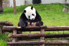 Angkut Panda Raksasa, Garuda Siapkan Penerbangan Bernuansa Panda