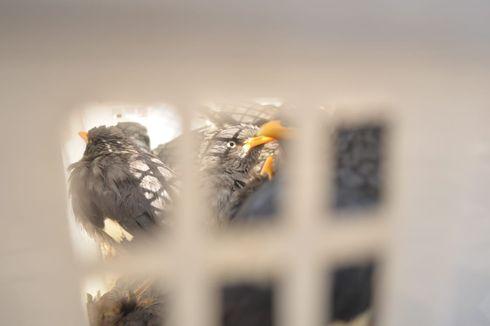 Ribuan Burung Habitat Sumatra Diselundupkan ke Bogor