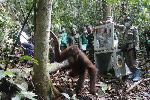 Perjalanan Panjang Bujing, Orangutan Asal Kalimantan Kembali ke Alam Liar