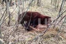 Pria Ini Kritis Setelah Bunuh Beruang Coklat yang Memangsa Temannya hingga Tewas