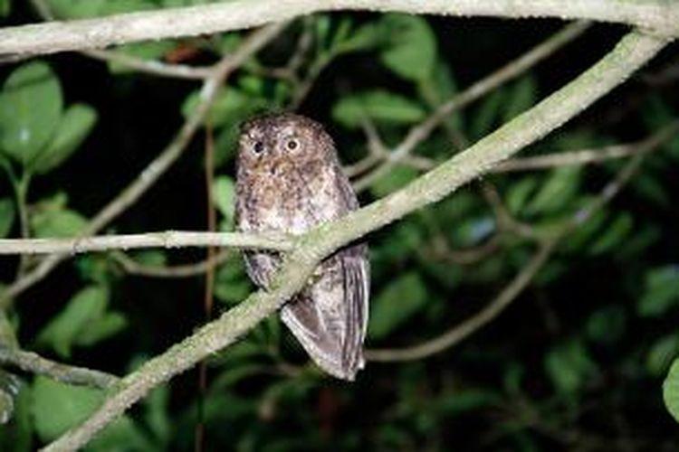 Burung Celepuk Sulawesi atau Manguni (Otus manadensis) yang bisa dijumpai di kawasan wisata Mahawu, Kota Tomohon, Sulawesi Utara