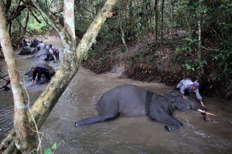 Mahout dari Elephant Rescue Unit (ERU) sedang memandikan gajah di Kawasan Taman Nasional Way Kambas (TNWK), Kabupaten Lampung Timur, Lampung, Senin (29/7/2017). Gajah-gajah di Elephant Rescue Unit (ERU) telah jinak dan sudah dilatih untuk membantu manusia, salah satu kontribusi gajah-gajah ini adalah membantu mendamaikan jika terjadi konflik manusia dengan gajah-gajah liar.