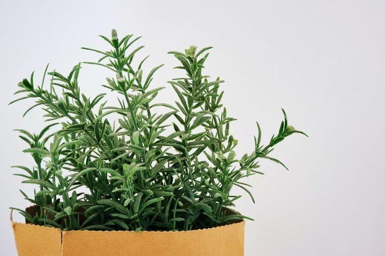 Ilustrasi tanaman rosemary