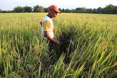 Tolong Pak Jokowi, Petani Teriak Pupuk Subsidi Hilang di Pasaran