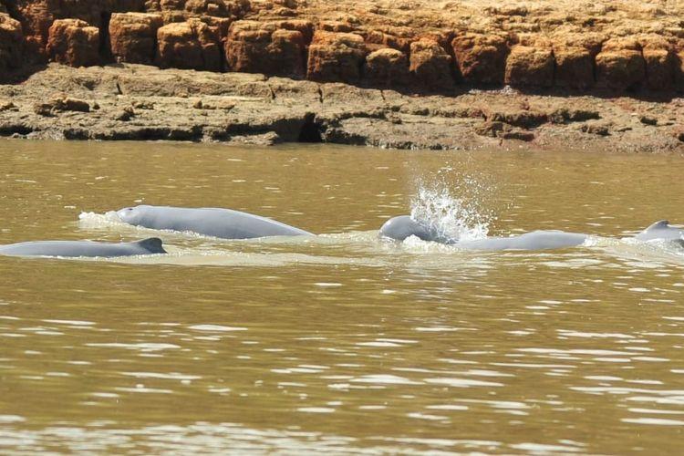 Sungai Mahakam (Orcaella  brevirostris) sedang bermain di Sungai Mahakam.