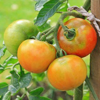 Ilustrasi tomat, tanaman tomat.