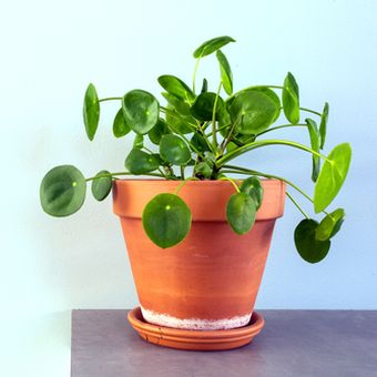 Ornamental Chinese Money Plant or Pilea peperomioides.