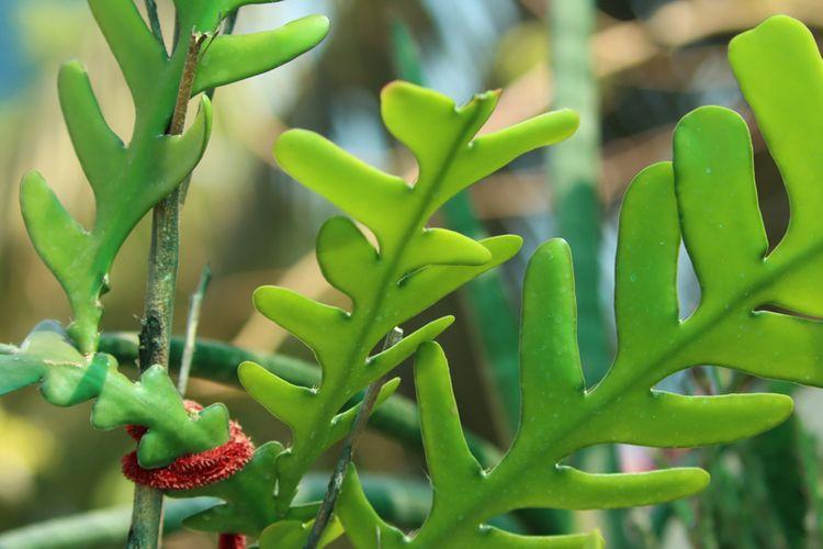 Ilustrasi tanaman fishbone cactus atau kaktus tulang ikan.