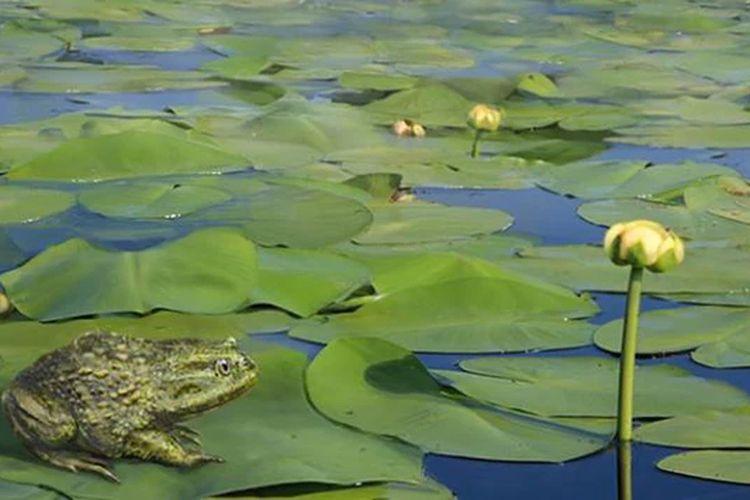 Sebelum membeku, Antarika merupakan tempat subur dan hijau yang kaya dengan hewan, salah satunya katak bertopi.