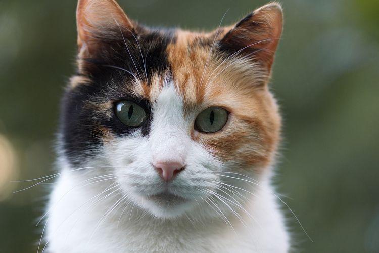 Ilustrasi kucing belang tiga atau calico.