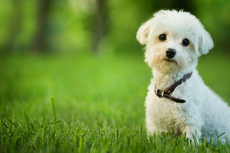 Ilustrasi anjing maltese