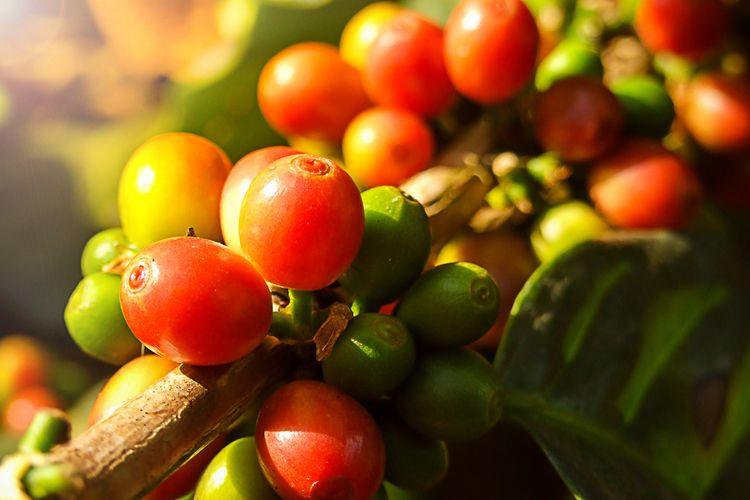 Ilustrasi ceri kopi dalam paparan sinar matahari.