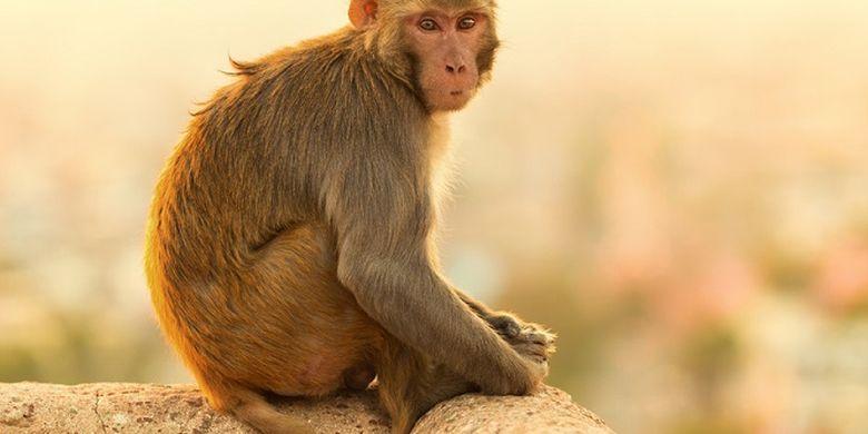 Kami Bukan Monyet Ahli Jelaskan Alasan Panggilan Hewan Itu Menghina Halaman All Kompas Com
