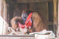 Orangutan Diharuskan Diet karena Kegemukan