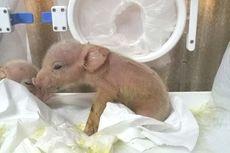 Pertama di Dunia, Makhluk Campuran Babi dan Monyet Lahir di China