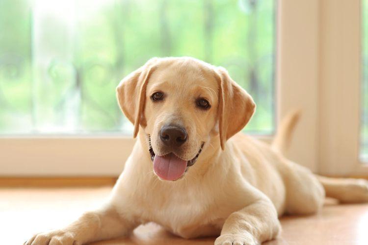 Ilustrasi anjing labrador retriever.