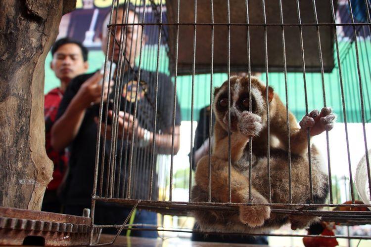 Wakapolres Cirebon, Kompol Jarot Sungkowo menunjukan salah satu hewan lindung yang diamankan satuan reskrim dari pasar ayam weru, Sabtu (3/11/2018). Hewan lindung lainya adalah: dua ekor kukang jawa, dua ekor elang tikus dewasa, tiga ekor elang bondol anak, dan satu ekor elang hitam.