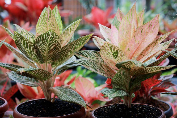 Ilustrasi tanaman hias Aglonema Golden Hope.