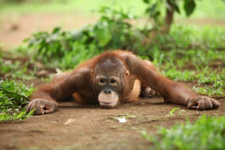 Temon, salah satu orang utan koleksi satwa yang dipelihara di Semarang Zoo.