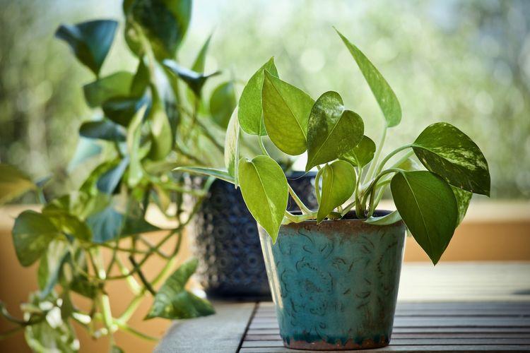 Ilustrasi tanaman sirih gading di pot.