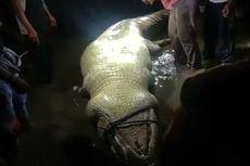 Dikira Memangsa Bocah, Buaya 6 Meter Dibunuh dan Dibedah, Ternyata Perut Berisi Kura-kura