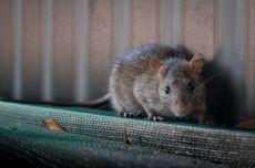 Tanpa Modifikasi Gen, Peneliti Berhasil Memanjangkan Umur Tikus