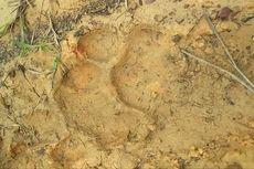 Jejak Harimau Sumatera Ditemukan di Kebun Karet Warga di Kampar