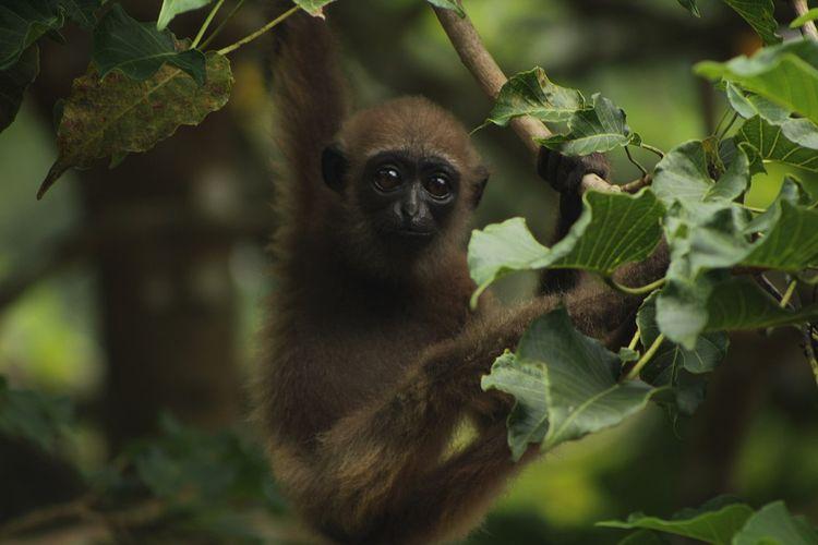 Owa ungko bernama latin Hylobates agilis adalah salah satu primata Indonesia yang habitatnya di hutan-hutan Sumatera.