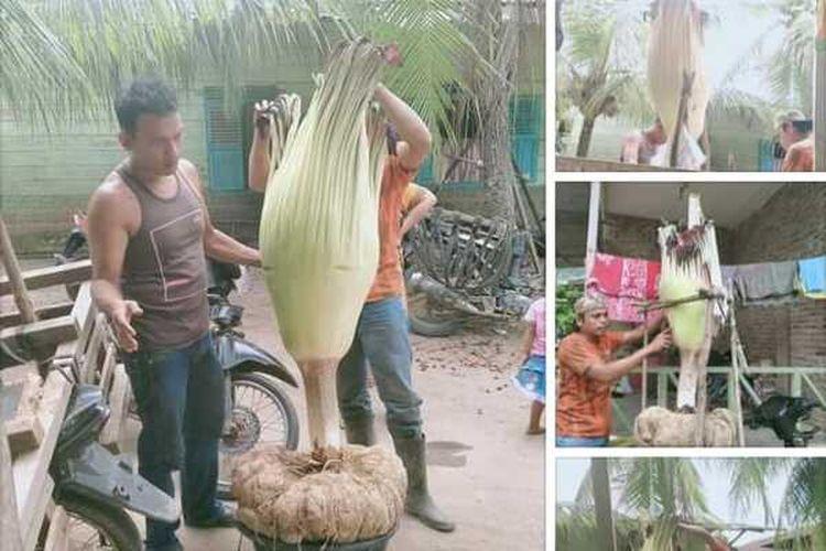 Tangkapan layar unggahan foto di media sosial. Unggahan foto yang disebutkan pengunggahnya di sebuah tempat yang disebut oleh pengunggahnya berada di Dusun Pulo Godan. Dusun tersebut berada di berada di Desa Silumajang, juga di Kecamatan Na IX-X, Labuhanbatu Utara ini viral, pasalnya bunga tersebut adalah bunga langka yang dilindungi.