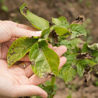 Ilustrasi tanaman yang terkena penyakit jamur phytophthora blight atau hawar phytophthora.