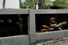 Cerita Jeje Buat Pagar Rumah dari Kolam Ikan, Berisi 80 Ekor Koi, Habiskan Dana Rp 50 Juta
