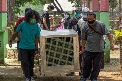 Dua Orangutan Kalimantan yang Diselamatkan dari Jateng Alami Malnutrisi