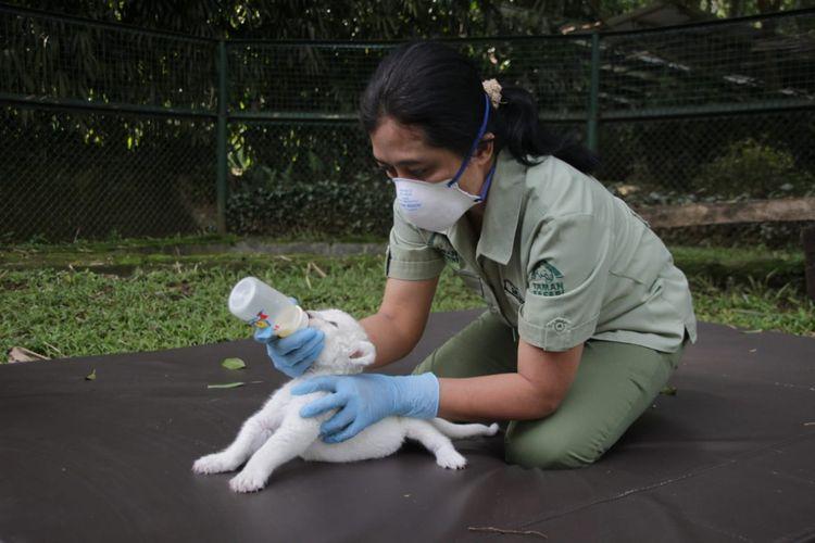 Satwa Taman Safari Bogor tengah diberikan susu oleh petugas taman. Selama penutupan masih berlangsung, Taman Safari Bogor tetap memprioritaskan perawatan satwa.