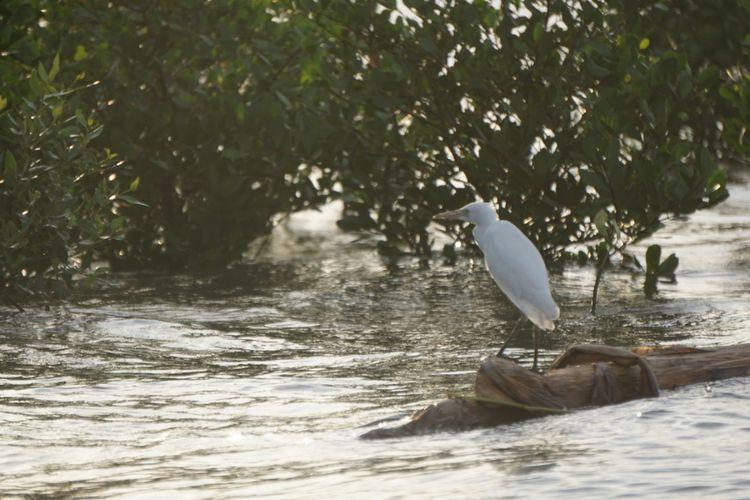 Salah satu burung air di hutan mangrove Kampung Blekok Situbondo