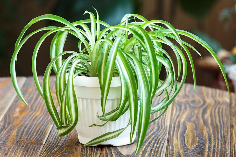 Ilustrasi tanaman spider plant atau lili paris.