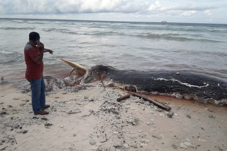 Seorang petugas  Balai Konservasi Sumber Daya Alam (BKSDA) Maluku di Namlea, tampak mendatangi lokasi terdamparnya paus biru di pesisir Pantai Desa Jikumerasa, Kecamatan Lilialy, Kabupaten Buru Maluku, Minggu (13/1/2019)