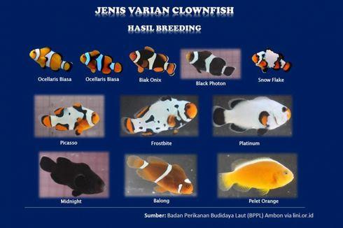 KKP: Ada 14 Varian Baru Ikan Nemo Siap Dorong Pasar Ikan Hias
