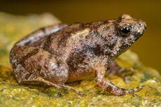 Temuan Spesies Baru Katak Kecil Bermulut Sempit di Belitung dan Lampung