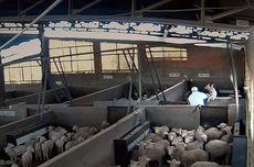 Sadis, Domba Dipukuli, Ditendang, dan Kandangnya Dikencingi di TPH Spanyol