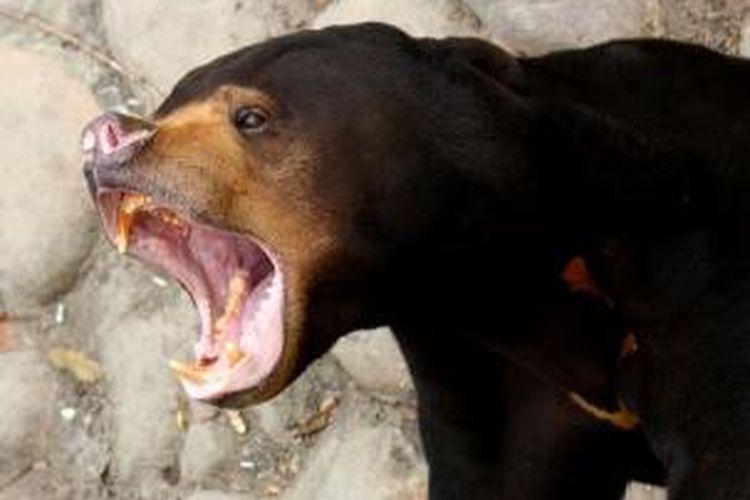 Beruang madu.