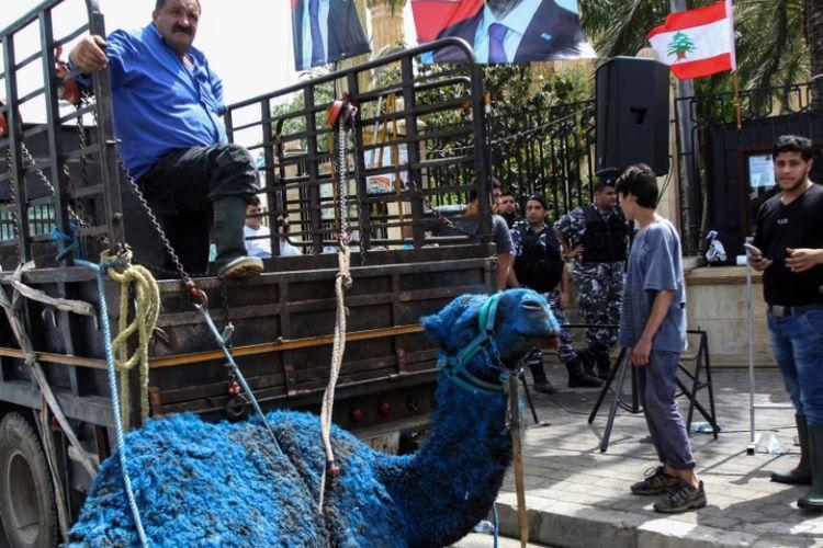 Seekor unta yang dicat biru terlihat dalam iring-iringan kampanye yang digelar partai Gerakan Masa Depan di Lebanon, Rabu (2/5/2018).