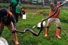 Ular Sanca Sepanjang 3 Meter Ditemukan di Bantaran Kali Pesanggrahan