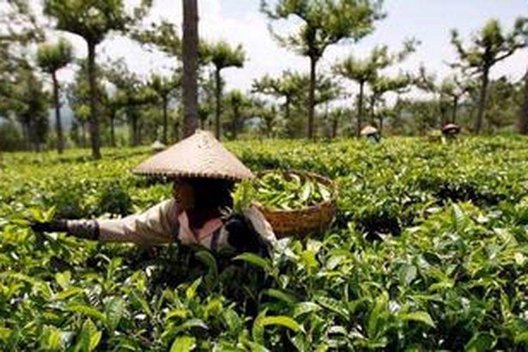 Ilustrasi perkebunan teh