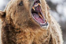 Seorang Warga Diserang Beruang Saat Mencari Sayur di Ladang
