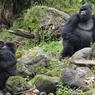 Perilaku Gorila di Alam Liar, Bersedia Adopsi Anak Gorila Yatim Piatu